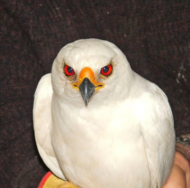 White Goshawk Photo