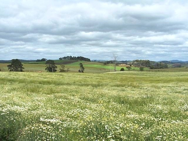 Pyrethrum paddock photo
