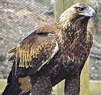 Wilbur, an eagle