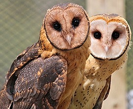 Masked Owls, Maggie and Malcolm