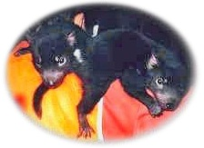 Photo of two Tasmanian Devils in care