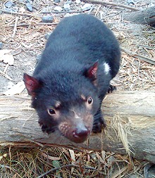 Staffy, a Tasmanian Devil